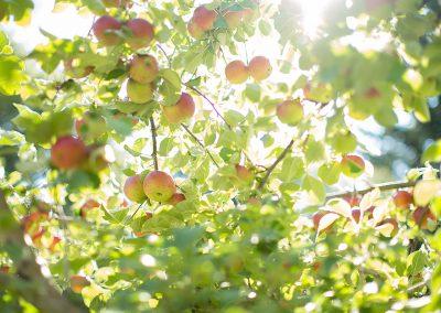 apple-trees05