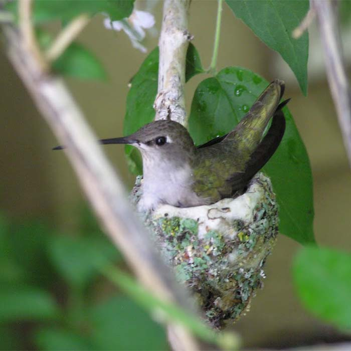 A hummingbird in a nest